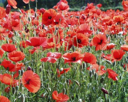 poppies-i.jpg