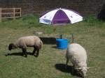 Sheep shade